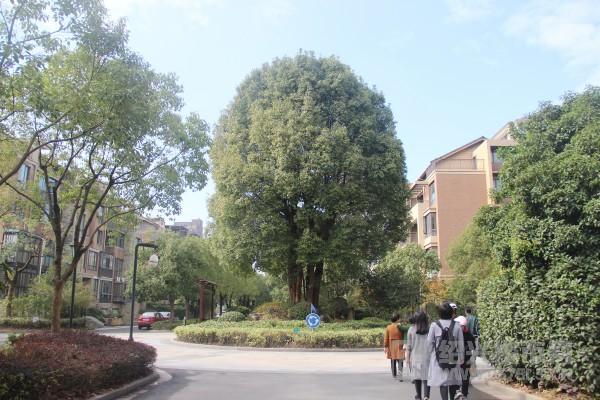 卧龙天香华庭小区内的百年香樟树